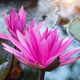 lotus flower blossom - PhotoDune Item for Sale
