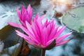 lotus flower blossom - PhotoDune Item for Sale