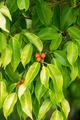 Golden leaves, Chinese Banyan, Malayan Banyan - PhotoDune Item for Sale