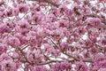 Pink trumpet tree (Bertol,),sweet pink flower blooming - PhotoDune Item for Sale