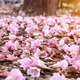 Flower of pink trumpet tree falling on ground - PhotoDune Item for Sale