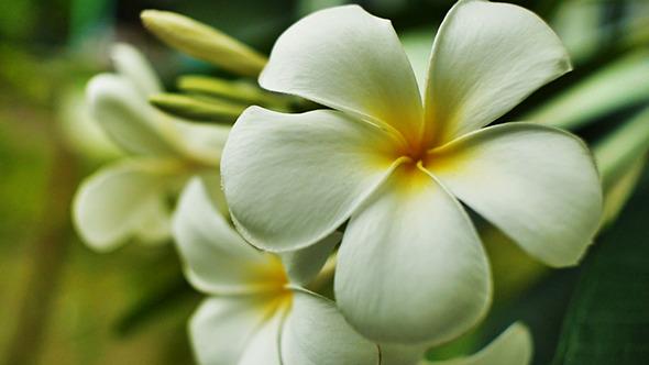 VideoHive Plumeria Flower01 11149928