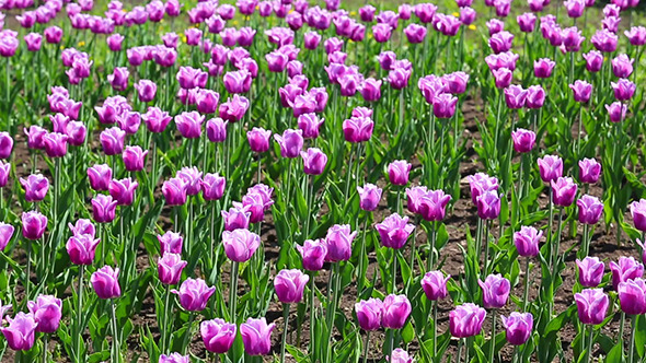 Purple With White Border Tulips