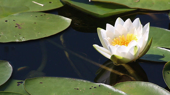 Water-Lily Flowers And Leaves