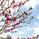 Flowering Apricot Tree In Spring On A Cloudy Day - VideoHive Item for Sale