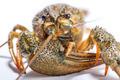 Crayfish on a white background. - PhotoDune Item for Sale
