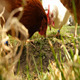 Chickens Eat 2 - VideoHive Item for Sale