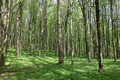 Green deciduous forest on a sunny day. - PhotoDune Item for Sale