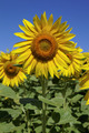 Sunflowers in a field on a sunny day. - PhotoDune Item for Sale