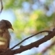 Chestnut-tailed Starling - VideoHive Item for Sale