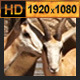 Zebra and Antelope Group - VideoHive Item for Sale