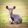 Sambar deers. - PhotoDune Item for Sale