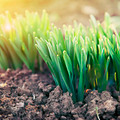young green shoots in the backlit sunlight  - PhotoDune Item for Sale