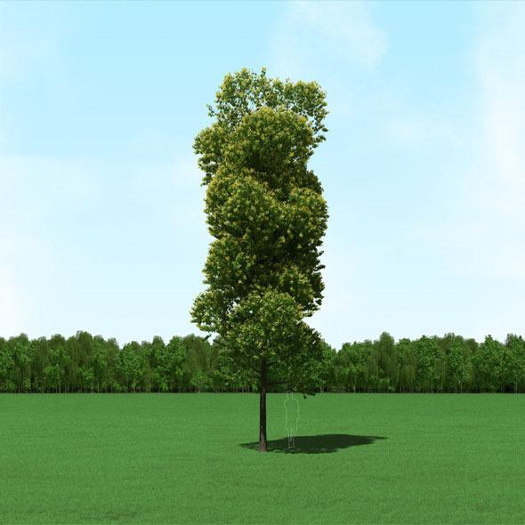 3DOcean Blooming Tilia Linden Tree 3D Model 11174481