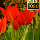 Blooming Flowers - VideoHive Item for Sale