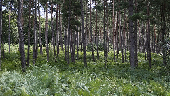 Pines Forest