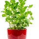 Isolated mint plant in a ceramic pot - PhotoDune Item for Sale