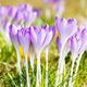 Purple Crocus Flowers - PhotoDune Item for Sale