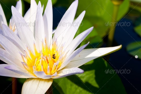 White lotus bloom fully. - Stock Photo - Images