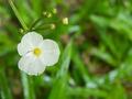 Arrow head ame son flower - PhotoDune Item for Sale