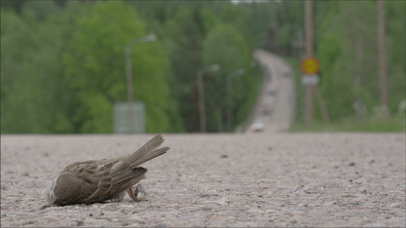 VideoHive A Dead Sparrow on the Road 11189934