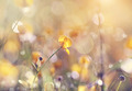 Yellow wild flowers of a buttercup.  - PhotoDune Item for Sale