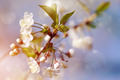 Cherry flowers. - PhotoDune Item for Sale