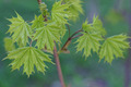 Young leaves of maple in sunny day. - PhotoDune Item for Sale