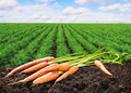fresh carrots on the ground in the soil - PhotoDune Item for Sale
