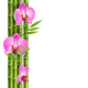 Orchid Pink Flowers with Bamboo Isolated on White - GraphicRiver Item for Sale
