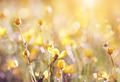Background with yellow buttercups.  - PhotoDune Item for Sale