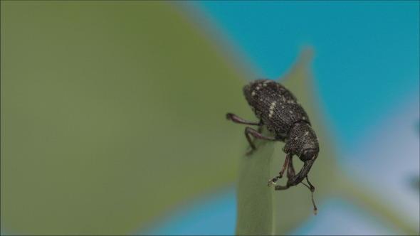 Black Large Weevil Crawling on the Leaf