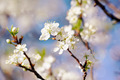 White flowers of cherry.  - PhotoDune Item for Sale
