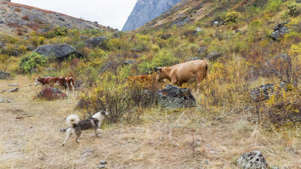 Cow and Dog on Pasture