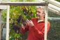 Mature Man Cultivating Grapes In Greenhouse - PhotoDune Item for Sale