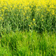 rapeseed field - PhotoDune Item for Sale