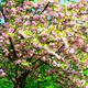 kanzam prunus tree - PhotoDune Item for Sale