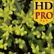 Aerial Look of the Yellow Flowers of Stonecrops  - VideoHive Item for Sale
