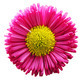 Fresh pink daisy flower isolated on white. - PhotoDune Item for Sale
