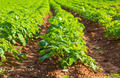 Potato field with green bushes - PhotoDune Item for Sale