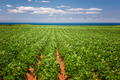 Potato field in Prince Edward Island - PhotoDune Item for Sale
