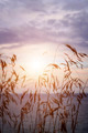 Tall grass at sunset - PhotoDune Item for Sale