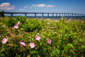 Wild roses at Confederation Bridge - PhotoDune Item for Sale
