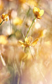 The yellow flowers of a buttercup  - PhotoDune Item for Sale