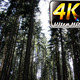 Long Huge Trees in Forest - VideoHive Item for Sale