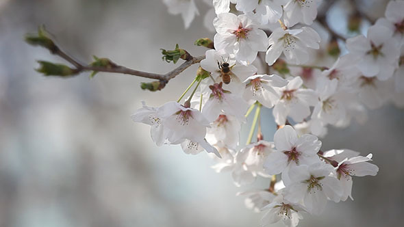 Cherry Blossoms and Bee