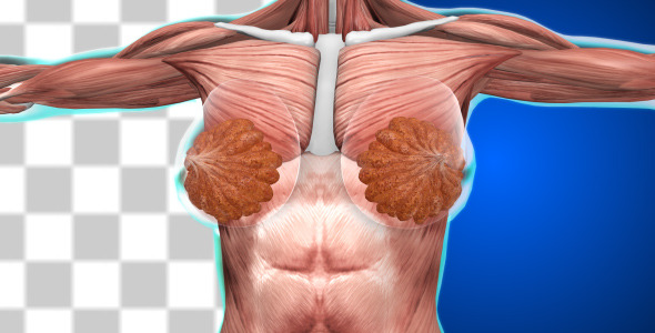 female muscular system 2 by yoycg | videohive, Muscles
