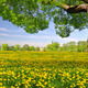 Tree on dandelion field - PhotoDune Item for Sale