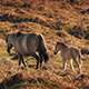 Baby Horse Follows Its Mother At Sunset - VideoHive Item for Sale