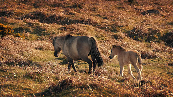 Baby Horse Follows Its Mother At Sunset